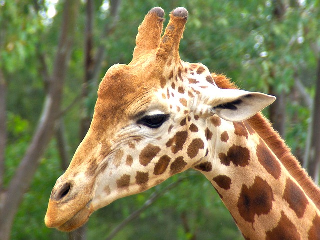 Lion Animal Wallpaper Free Photo Giraffe Male Animal Head Africa Free