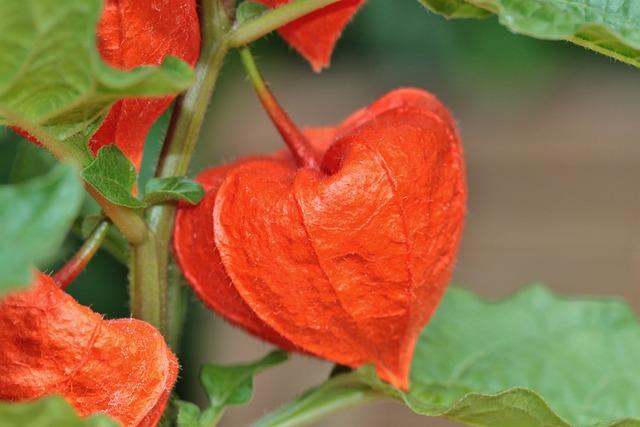 Lampionblume Blume Orange  Kostenloses Foto auf Pixabay