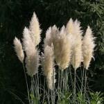 Pampas Grass Flowers White Free Photo On Pixabay