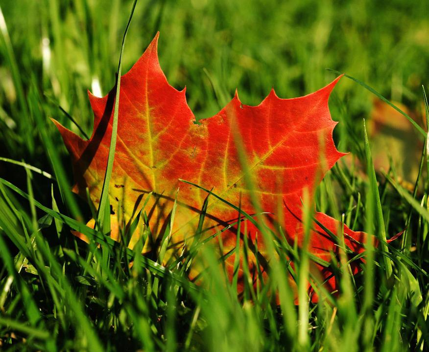 Rain Fall Hd Wallpaper Download Free Photo Maple Maple Leaf Autumn Leaf Free Image