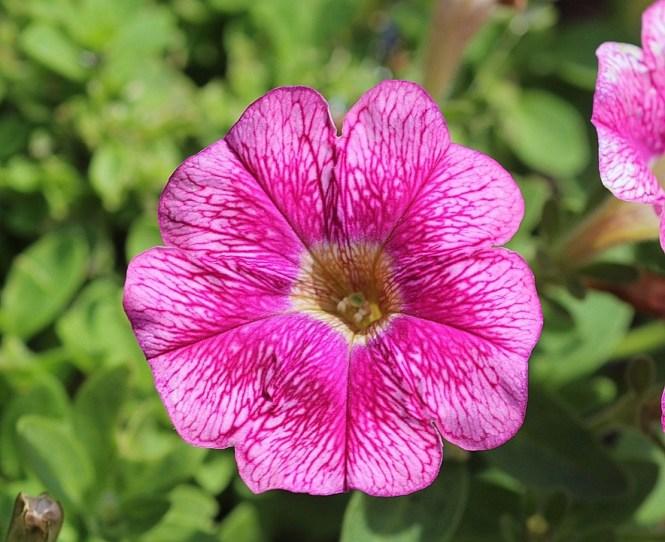 petunia flower  flower, Natural flower