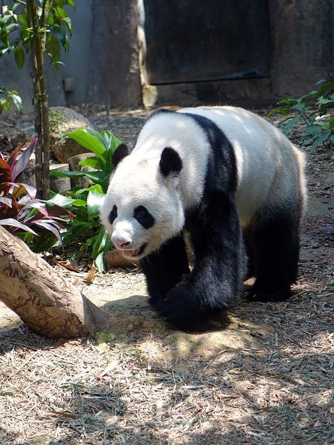 Free photo Panda Animal Endangered Rare  Free Image