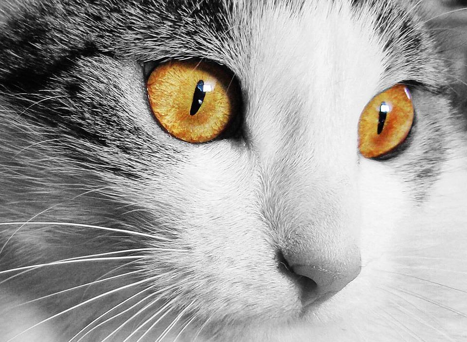 猫, ホーム, 動物, 猫の目, 視線, ペット, ビュー, 顔, 注視