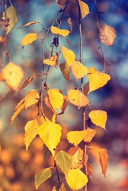 Fall Leave Wallpaper Birch Leaves Fall Foliage 183 Free Photo On Pixabay