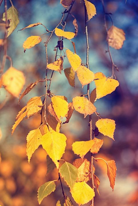 Free Fall Foliage Wallpaper Birch Leaves Fall Foliage 183 Free Photo On Pixabay