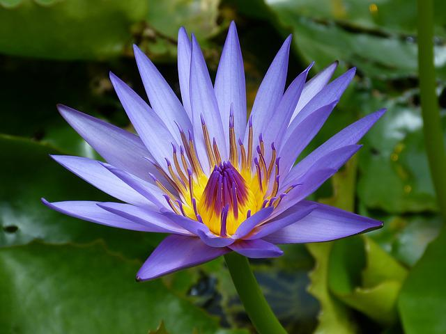 Water Lily Food Pond