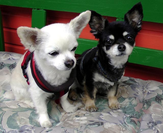 Cute Dog And Kitten Wallpaper Free Photo Chihuahua Dog Couple Pets Black Free Image