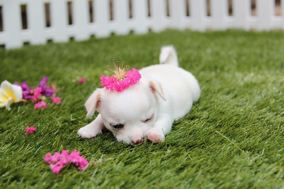 chihuahua dog puppy free