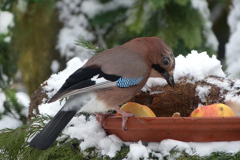Kostenloses Foto Vogel Eichelhäher Fütterung Kostenloses Bild