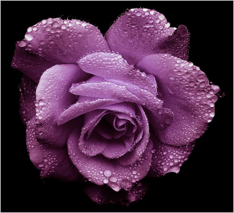 Free Photo Rose Purple Romantic Blossom Free Image