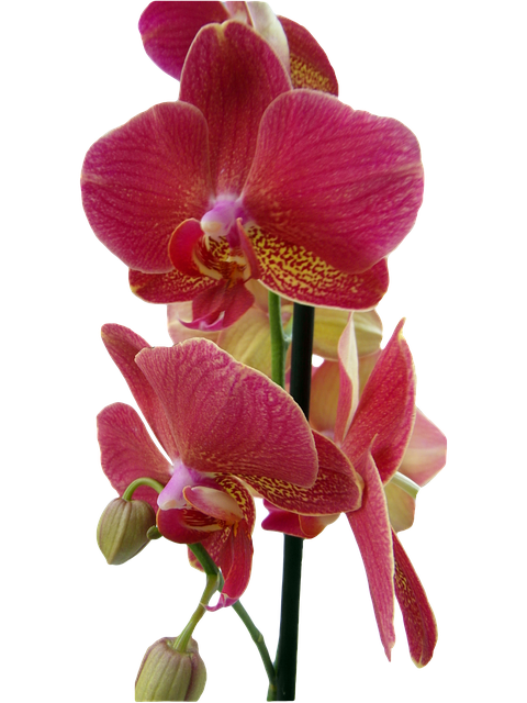 Orchid Red Isolated  Free image on Pixabay