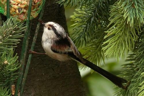 Bird, Mésange À Longue Queue, Recherche De Nourriture