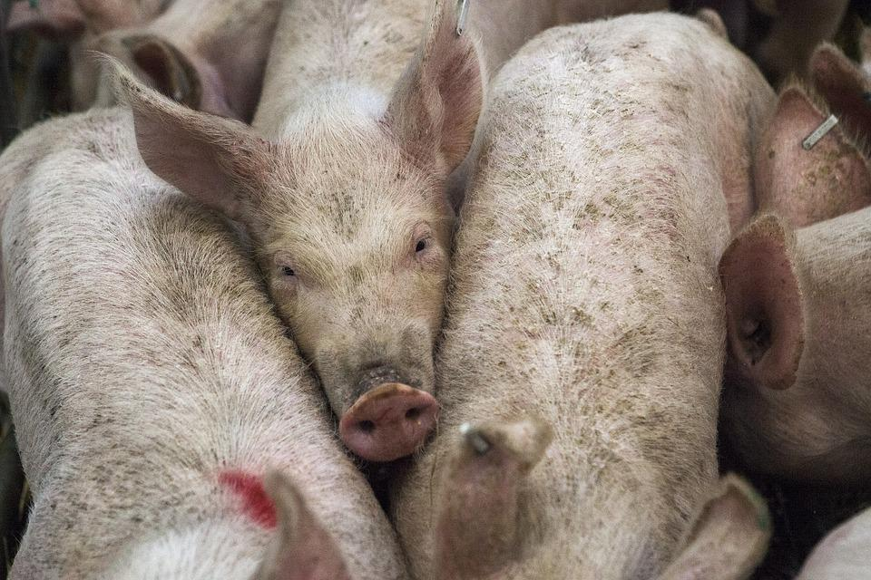 Pigs, Animal, Farm, Agriculture, Livestock, Meat