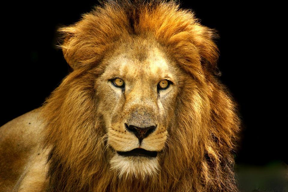 lion fierce free photo