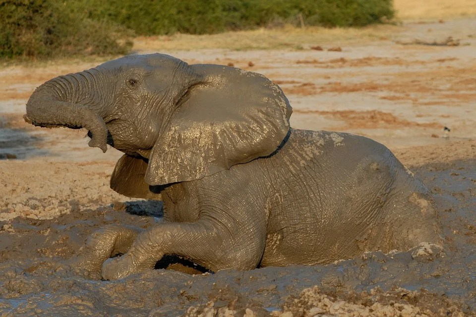 Cute Animals Playing Soccer Wallpaper Botswana Elephant Badespass Mud 183 Free Photo On Pixabay