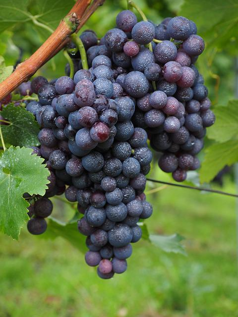 Wine Berries Inoculated Spray  Free photo on Pixabay