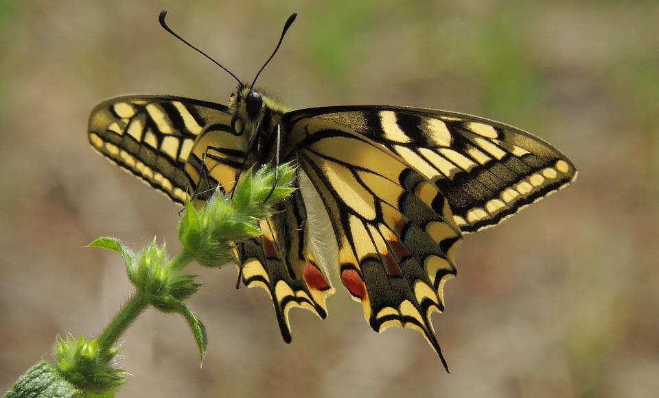 Animals And Birds Wallpaper Free Photo Butterfly Swallowtail Ali Insect Free