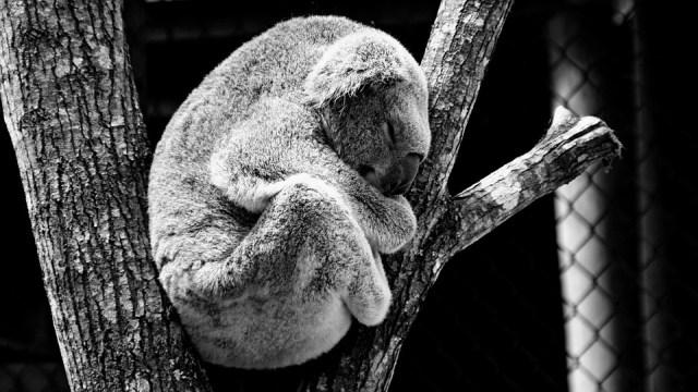 Animal, Koala, Nature, Gray Nature, Gray Animals