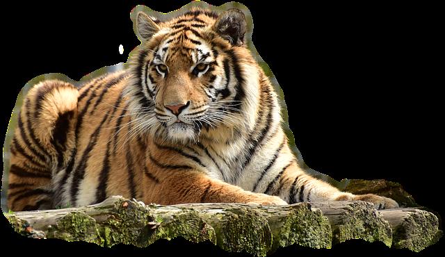 Foto gratis Bengaltiger Harimau Kucing Besar  Gambar