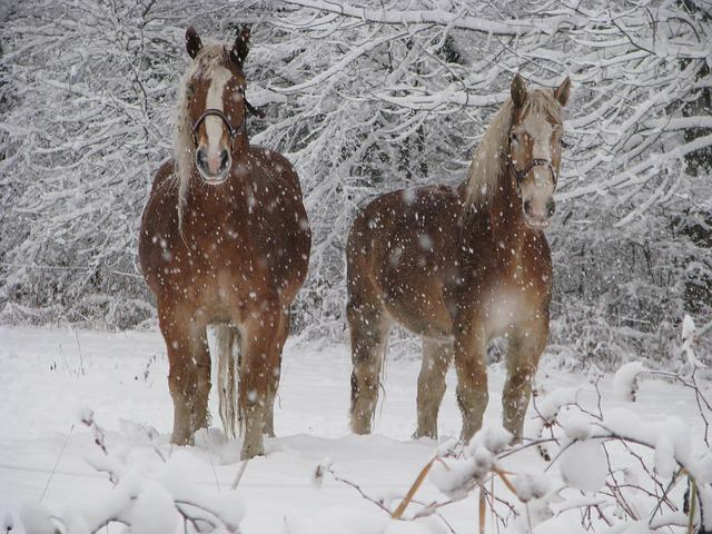 Falling Snow Wallpaper Widescreen Free Photo Horses Winter Animal Nature Free Image On