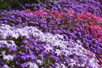 Free photo: Flower Carpet, Flowers, Blossom - Free Image ...
