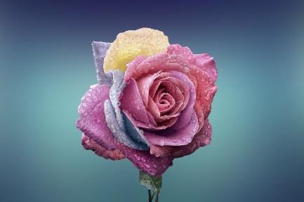 Rose, Fiore, Amore, Romanticismo, Bella, Bellezza
