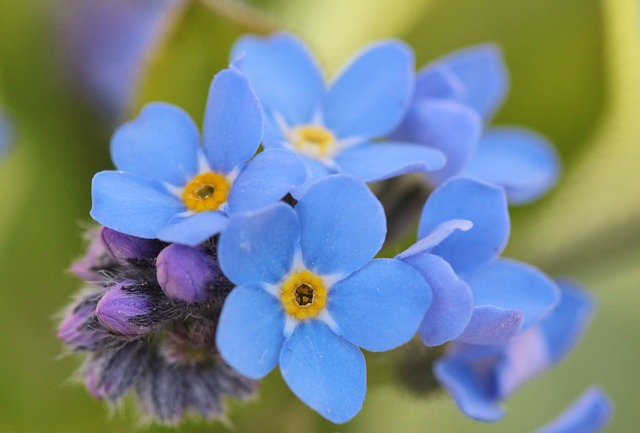 Free photo Forget Me Not Flowers Flower  Free Image on