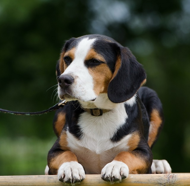 Download Cute Images For Wallpaper Hybrid Cute Beagle Mixed Breed 183 Free Photo On Pixabay