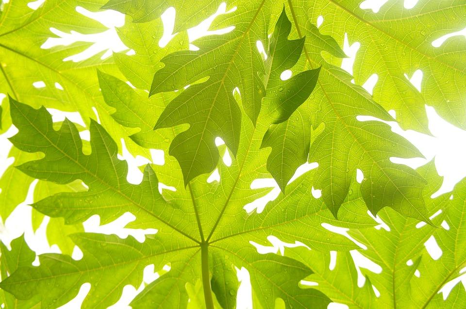 Beautiful Girl Smile Wallpaper Free Photo Papaya Leaves Green Pattern Free Image On