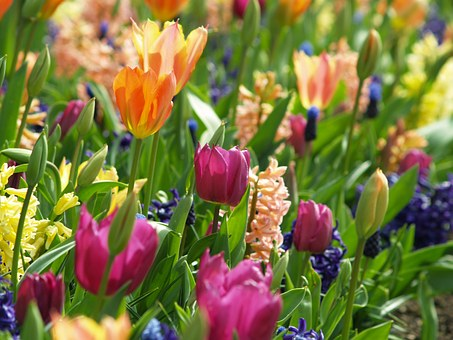 Flowers, Spring, Tulip, Nature, Floral