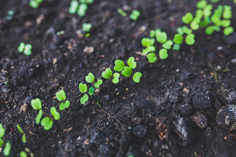 Arugula Seedlings Plant - Free photo on Pixabay