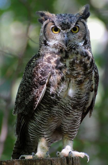 Sowa Bird Eyes  Free photo on Pixabay