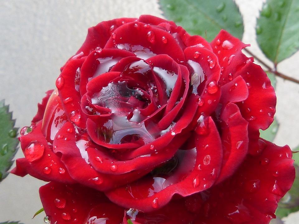 Free Photo Rose Red Red Rose Rain Drip Free Image