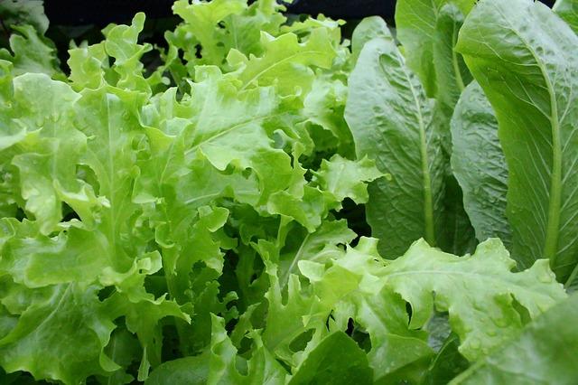 Lettuce Leafy Organic  Free photo on Pixabay