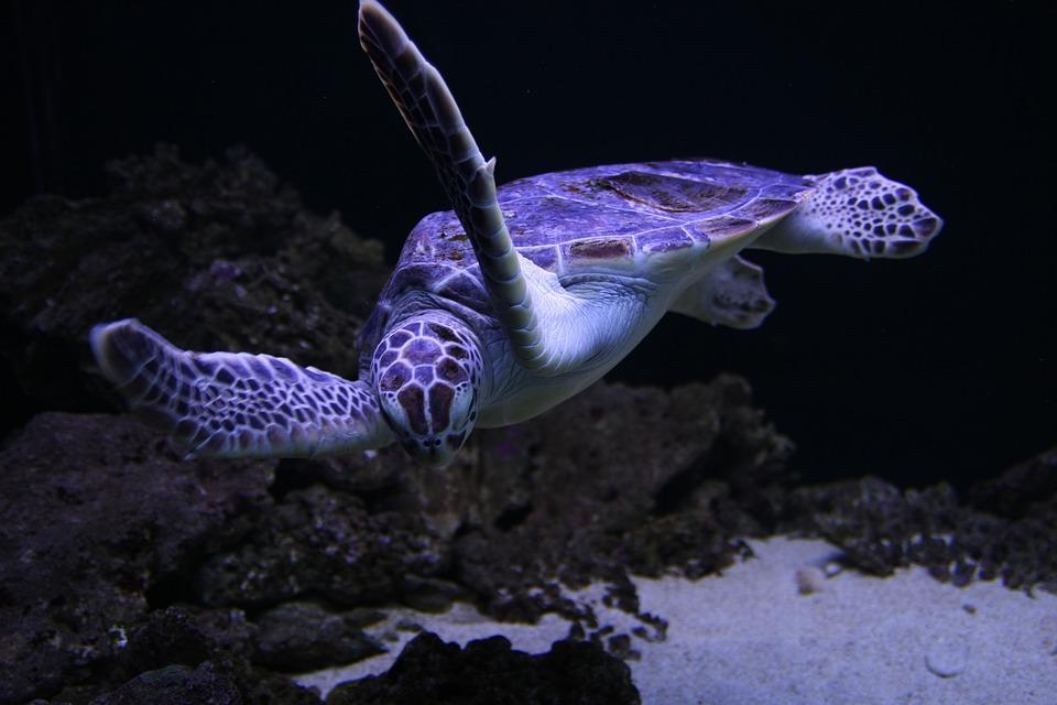 Sea Turtles Turtle  Free photo on Pixabay