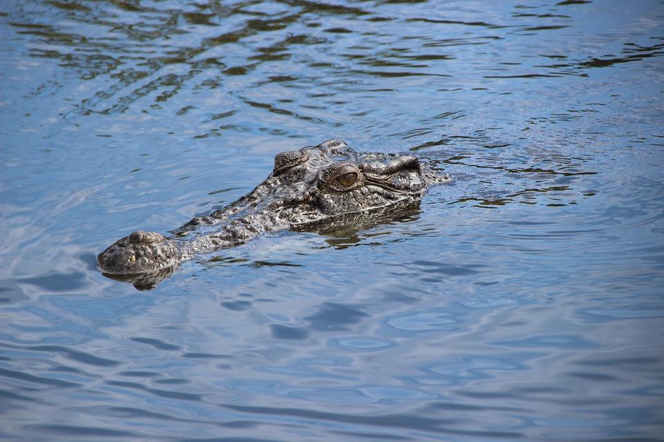 Crocodile, River, Australia, Nature, Animal