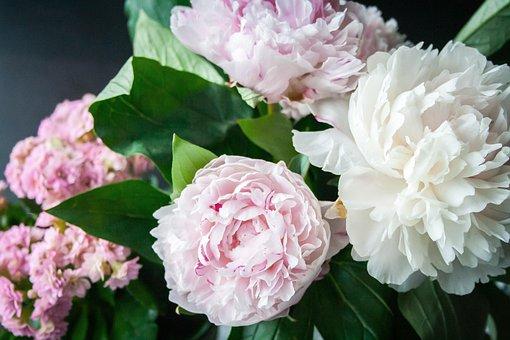 Fleur, Pivoine, Bloom, Plantes, Nature