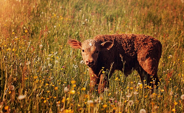 Desktop Free Wallpapers 3d Free Photo Calf Red Young Animal Livestock Free