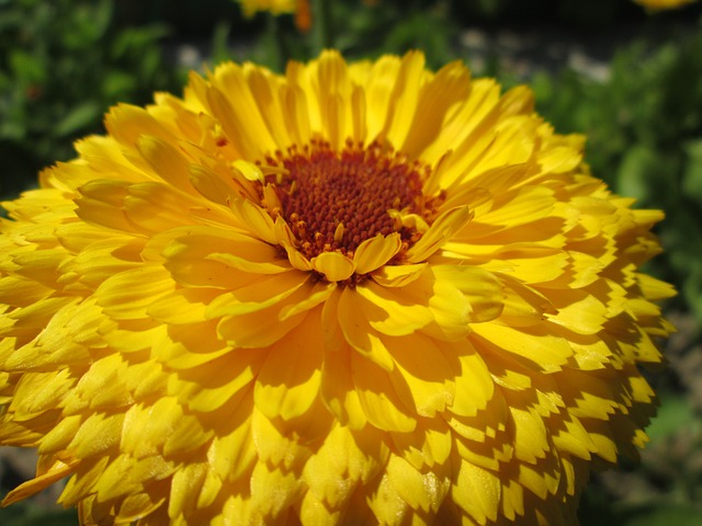 Gif Images Animated Wallpapers Marigold Fleur Fleurs 183 Photo Gratuite Sur Pixabay