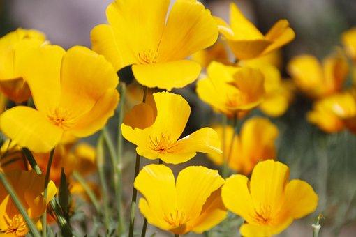 Fleur, Coquelicots, Été, Jaune, Pavot