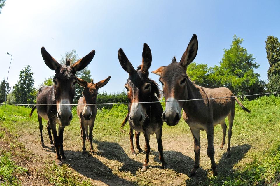 Free photo Donkeys Campaign Italy Wedge  Free Image