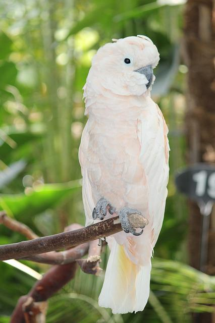 Free Photo White Cockatoo Parrot Bird Free Image On