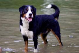 Animals, Dog, Bernese Mountain Dog, Animal Portrait