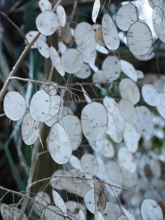 Kostenloses Foto Silberblatt Lunaria Silberling  Kostenloses Bild auf Pixabay  919873