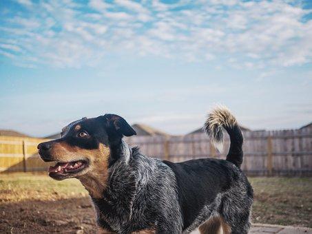 Dog, Puppy, Blue Heeler, Backyard, Sky