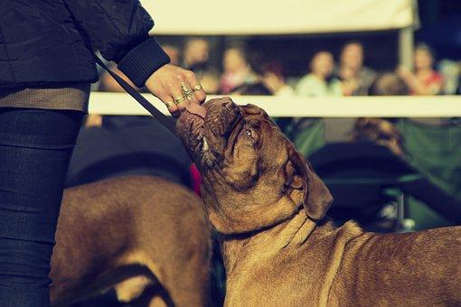 Bordeaux, Dog, Dogue, De, Mastiff, Show