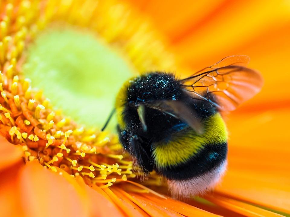 Hummel Blte Insekten  Kostenloses Foto auf Pixabay