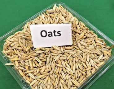 Oats, Grain, Cereal, Animal Feed, Seeds