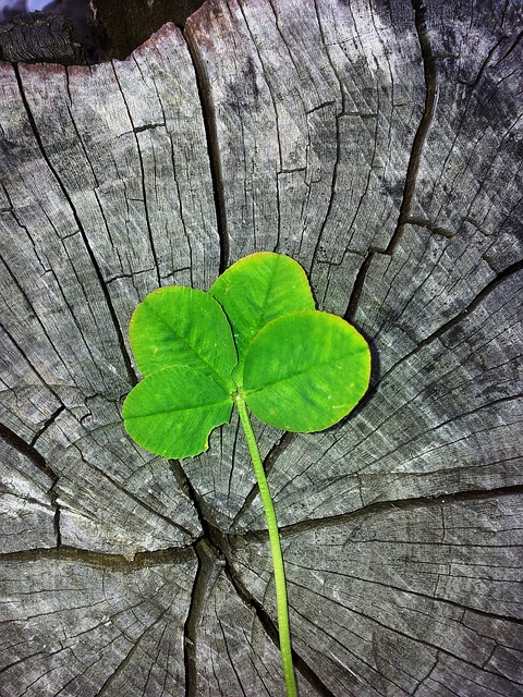 Cute Medical Wallpaper Free Photo Four Leaf Clover Luck Lucky Charm Free