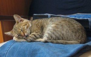 猫, 睡眠, ブルー ジーンズ, ハローキティ, 若いです, 動物
